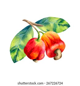 vector watercolor cashew branch on white background