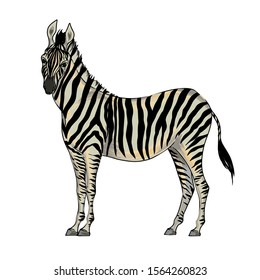 Vector with watercolor effect cute realistic illustration of zebra