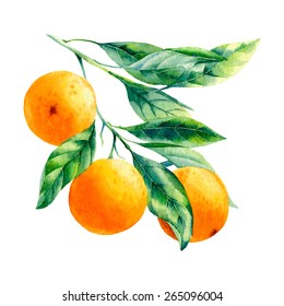 vector watercolor fruit orange branch on white background