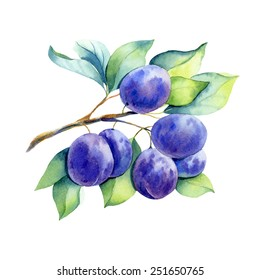 vector watercolor fruit plum branch on white background
