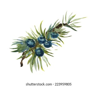 Vector watercolor hand drawn isolated juniper