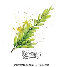 Vector watercolor rosemary green branch with natural leaves EPS