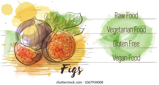 Vector watercolor sketch card of vegetarian food. Eco food. Figs isolated on white sketch with characteristics.