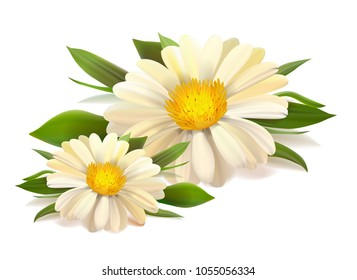 Vector white chamomile flower seamless pattern. Realistic vector daisy. Background design for herbal tea, natural cosmetics, health care products, aromatherapy, homeopathy, textile.