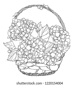 Vector wicker basket with bouquet of outline Hydrangea or Hortensia flower bunch and ornate leaves in black isolated on white background. Contour plant Hydrangea for summer design or coloring book.