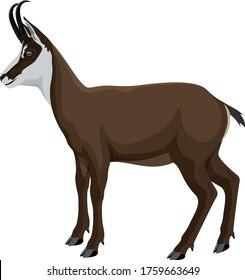 vector wild animal chamois illustration