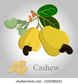 vector yellow cashew on white background,vector cashew nut