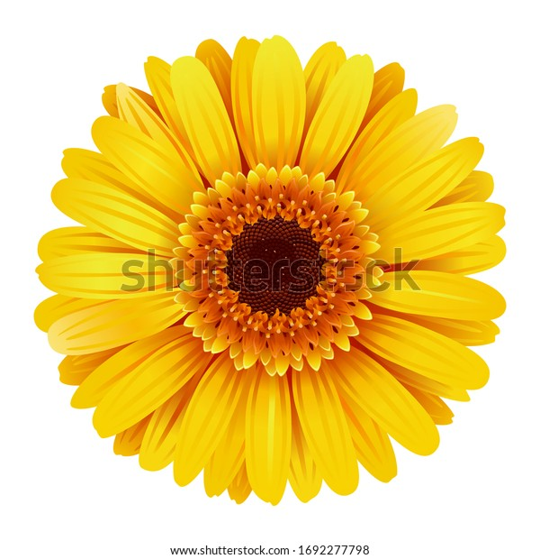 Vector Yellow Gerbera isolated on white background