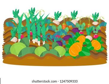 Vectot illustration of vegetable garden. Radish, beet, garden radish, carrots, cabbage,pumpkins, leek. Harvest.