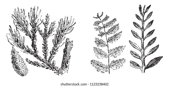 Vegetable fossils of the secondary period, vintage engraved illustration. From Natural Creation and Living Beings.