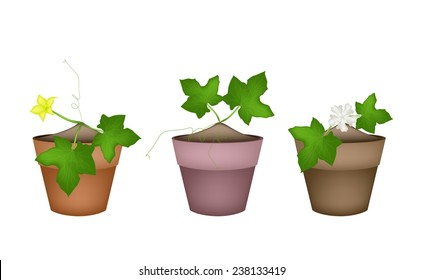 Vegetable and Herb, Illustration of Marrow Plant with Blossoms in Terracotta Flower Pots for Garden Decoration.