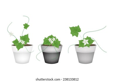 Vegetable and Herb, Illustration of Three Coccinia Grandis or Ivy Gourd with Yellow Blossom in Terracotta Flower Pots for Garden Decoration.