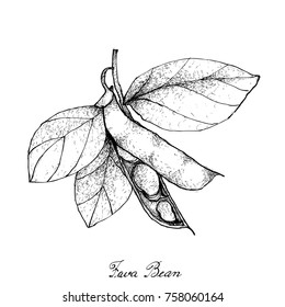 Vegetable, Illustration of Hand Drawn Sketch Fresh Fava Bean or Broad Beans on Tree Isolated on White Background, Used in Both Sweet and Savory Recipes.