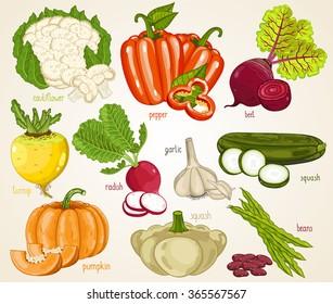 Vegetable isolated mix. Fresh organic farm vegetarian nutrition harvest. Vector set isolated on white background. Cauliflower, pepper, beet, turnip, radish, pumpkin, squash, beans, garlic illustration