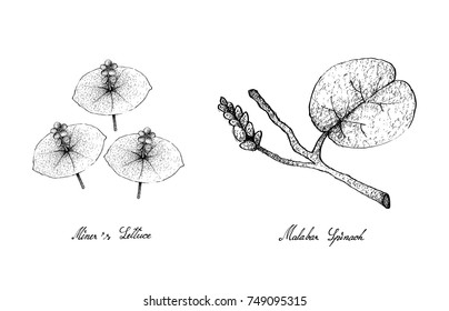 Vegetable Salad, Illustration of Hand Drawn Sketch Delicious Fresh Green Miner's Lettuce and Malabar Spinach Plants Isolated on White Background.