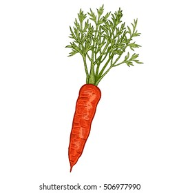 Vegetables. Carrots. Vector illustration. Hand drawing color isolated on white background.