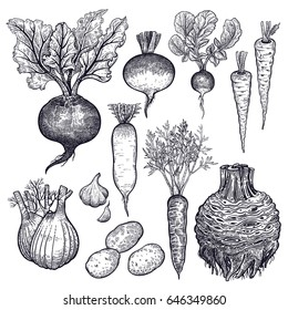 Vegetables celery, potatoes, fennel, turnip, parsnip, carrot, radish, beet, garlic. Hand drawing.  Vector art illustration. Black and white. Isolated roots. Vintage engraving. Kitchen design.