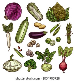 Vegetables set of potato, chinese cabbage, red cabbage or beans, daikon, pea and eggplant, Brussels, spinach, champignons and beetroot, broccoli and squash, garlic or kohlrabi, zucchini and romanesque