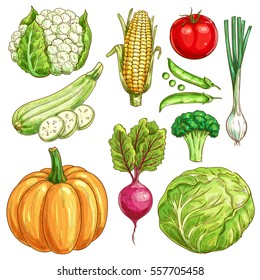 Vegetables sketch icons of farmer market. Vector cauliflower and corn, zucchini squash and green pea, tomato, onion leek, pumpkin, beet and broccoli with white cabbage. Organic fresh vegetarian food