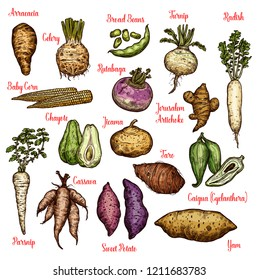 Vegetables sketches with taproots, beans and tubers of exotic plants. Radish, yam and celery, sweet potato, turnip and parsnip, baby corn, broad bean and rutabaga, taro, chayote, jerusalem artichoke