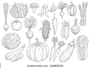 Vegetables vector sketch cauliflower, tomato and broccoli, leek and garlic, bell and chili pepper, beet, radish, corn, asparagus, cucumber and chinese cabbage, zucchini, pumpkin, carrot and eggplant