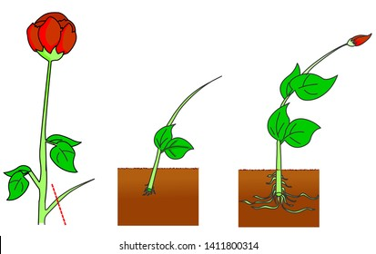 Vegetative propagation types in plants. Roses reproduction.  Cutting stages.  A part of a plant, typically a stem or leaf, is cut off and planted. Step by step.  2d drawing vector. illustration