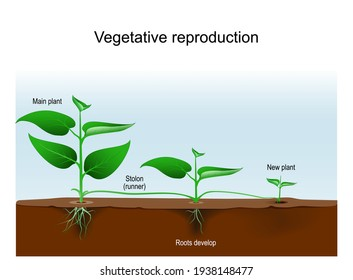 Vegetative reproduction. Plant propagation or vegetative multiplication. cloning of plant. asexual reproduction from Main to new plants with stolon or runner. Vector illustration