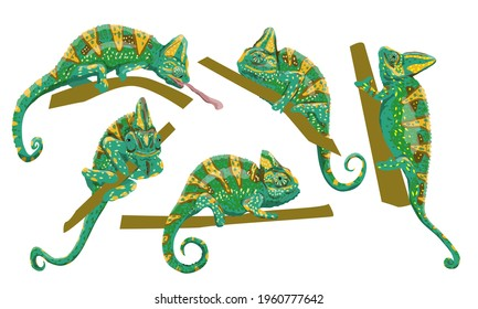 Veiled chameleon set. Chamaeleo calyptratus, cone-head chameleon or Yemen chameleon in various poses. A bright green chameleon sits on a branch and hunts. Realistic collection of wild reptile