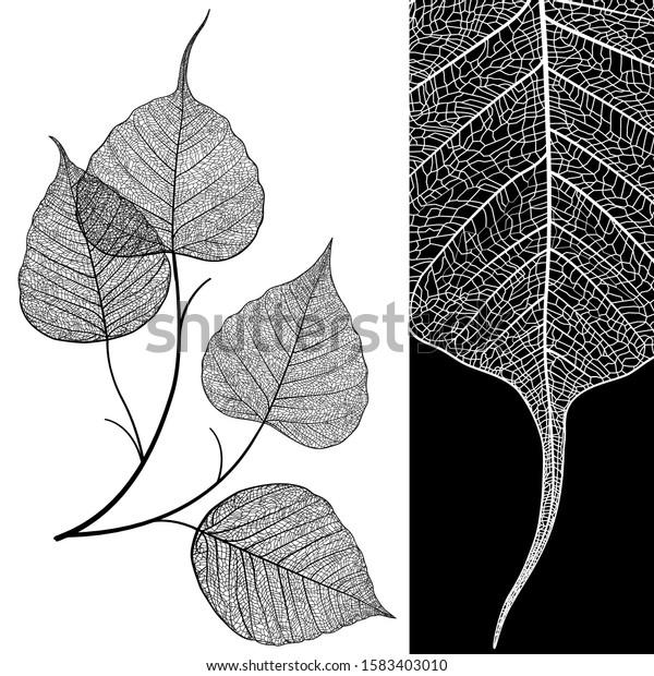 Vein leaf isolated on background. Black and white elegant illustration. Minimalism skeleton modern style design, vintage poster, not autotrace