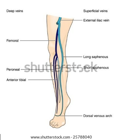 Veins Leg Labeled Stock Vector (Royalty Free) 25788040 - Shutterstock
