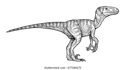Velociraptor illustration, drawing, engraving, ink, line art, vector