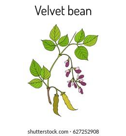 Velvet bean (Mucuna pruriens), medicinal plant. Hand drawn botanical vector illustration