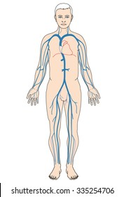 Venous network, showing the major veins from the periphery to the heart.
