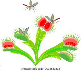 Venus flytrap or Dionaea muscipula and mosquitoes. Carnivorous plant