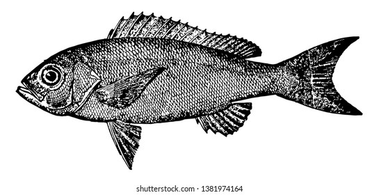 Vermilion Snapper is a North American and Atlantic fish in the Lutjanidae family of snappers, vintage line drawing or engraving illustration.