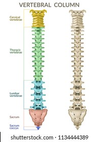 Vertebral column. Back view. Human skeleton, medicine. 3d vector icon on white background.