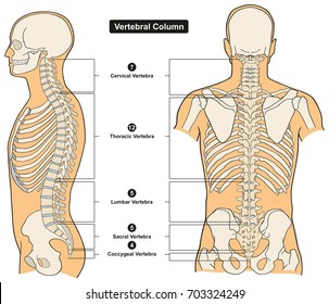 Vertebrae images stock photos vectors shutterstock vertebral column of human body anatomy infograpic diagram including all vertebra cervical thoracic lumbar sacral and ccuart Image collections