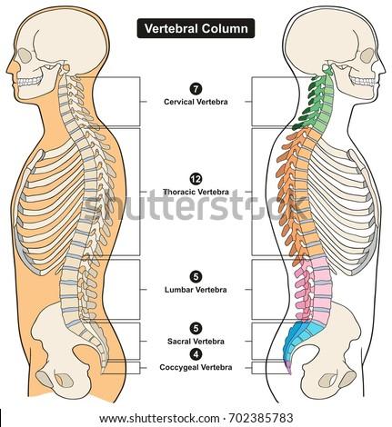 Vertebral Column Human Body Anatomy Infograpic Stock Vector Royalty