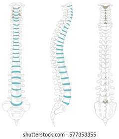 Vertebral Column spine structure of human body anterior posterior right lateral view with all vertebrae groups cervical thoracic lumbar sacrum coccyx caption for medical education vector