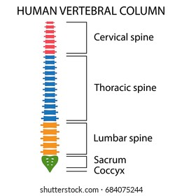 Vertebral Column spine structure of human body. View with all vertebrae groups. cervical, thoracic, lumbar, sacrum and coccyx.