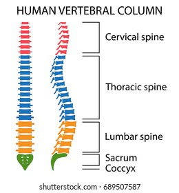 vertebral column spine structure of human body  view with all vertebrae  groups  cervical,
