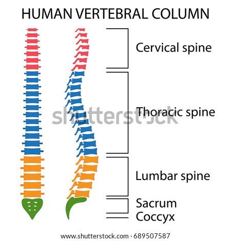 Vertebral Column Spine Structure Human Body Stock Vector (Royalty ...