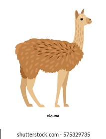 Vicuna -  relative of  camels and wild lamas