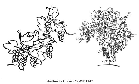 Vine tree and fruit drawing, hand-drawn vector food illustration for vine label and social media marketing