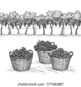 Vineyard and grapes in basket. Isolated on white background. Hand drawn vector illustration