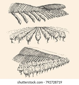 Vineyard landscape field in vintage engraved style. Hand drawn vector illustration.