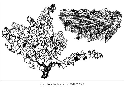 vineyards and grape tree