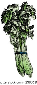 Vintage 1950s celery; Detailed black and white from authentic hand-drawn scratchboard includes full colorization.