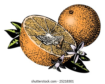 Vintage 1950s Oranges; detailed black and white from authentic hand-drawn scratchboard includes full colorization.