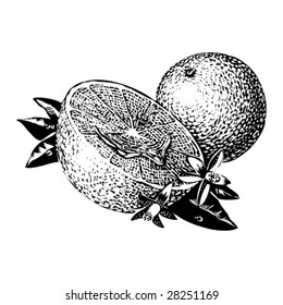 Vintage 1950s Oranges; detailed black and white from authentic hand-drawn scratchboard.